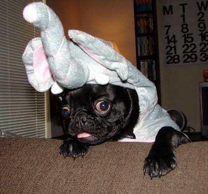 cão vestido de elefante - síndrome da disfunção cognitiva