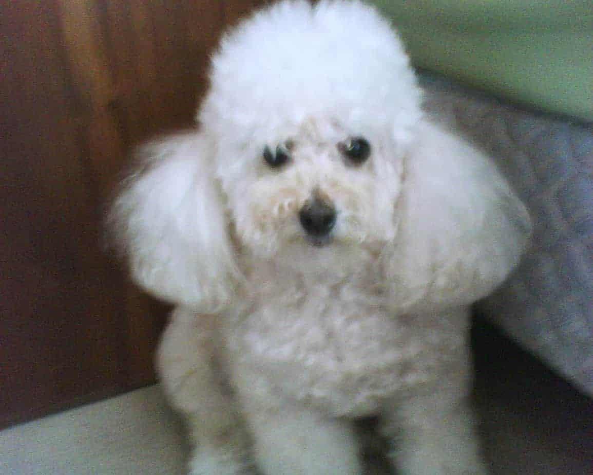 Cadelinha Shana - Meu Cão Velhinho