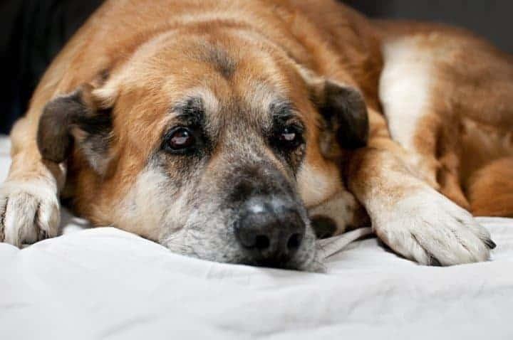 Cão idoso com dor
