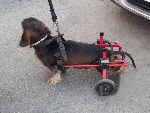 cão em cadeira de rodas - xixi