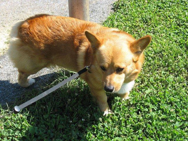 cão andando na grama