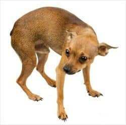 cão pequeno com dificuldade para urinar