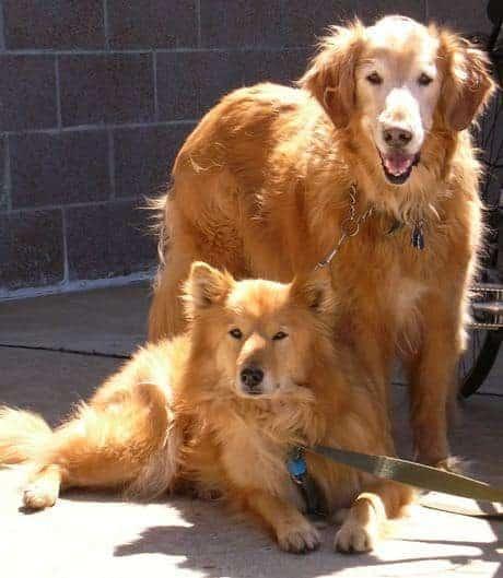Casal de cães grandes