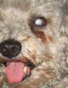 Olho de poodle com catarata