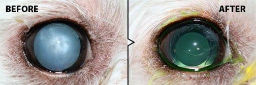 Olho de cão antes e depois da cirurgia de catarata