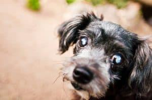 Cão com catarata