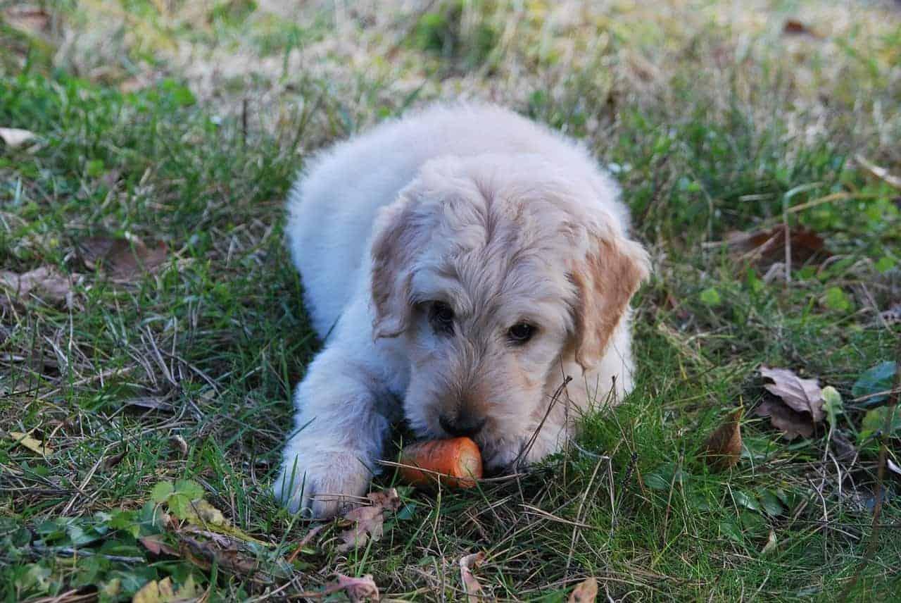 cão comendo cenoura - lixo