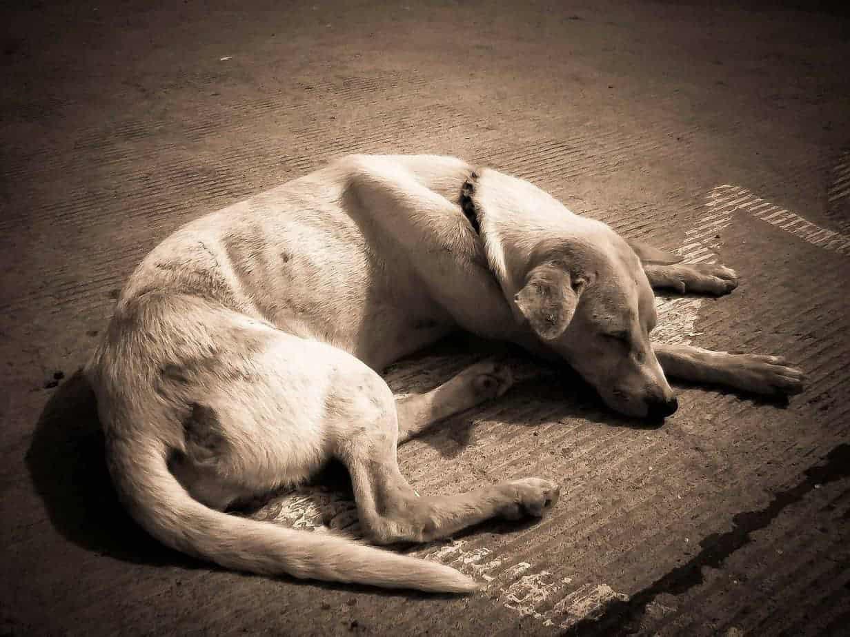 cão deitado - cardiopatia
