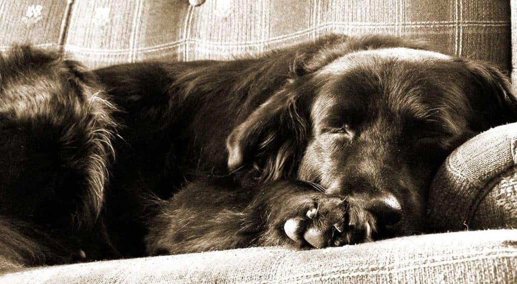 cão dormindo no sofá - dorme