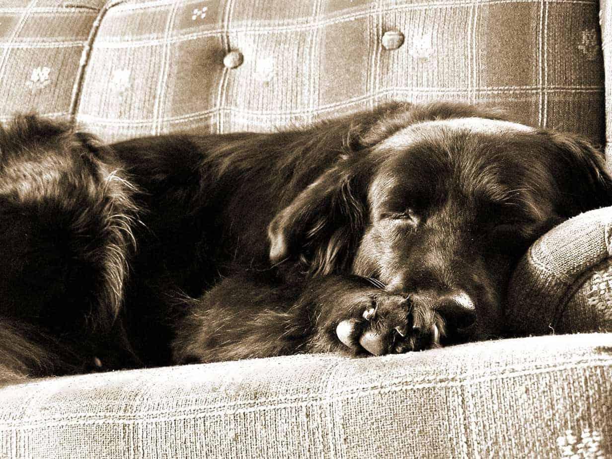 cão dormindo no sofá - dormir