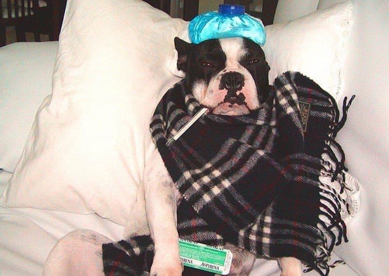 bulldogue frances doente