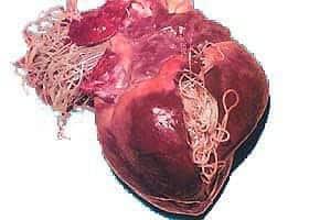 Vermes adultos em coração de cão. Imagem: Kritter Keepers