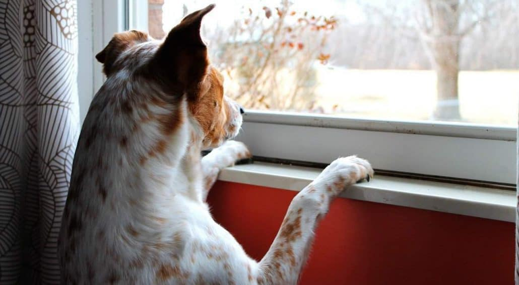 cão olhando pela janela - ansiedade de separação