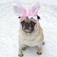 Pug com fantasia de coelho