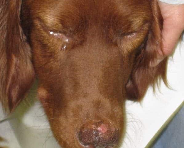 cão com leishmaniose