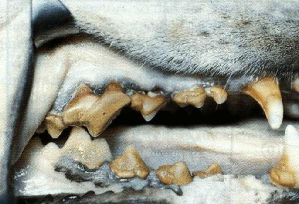 Cão com doença periodontal