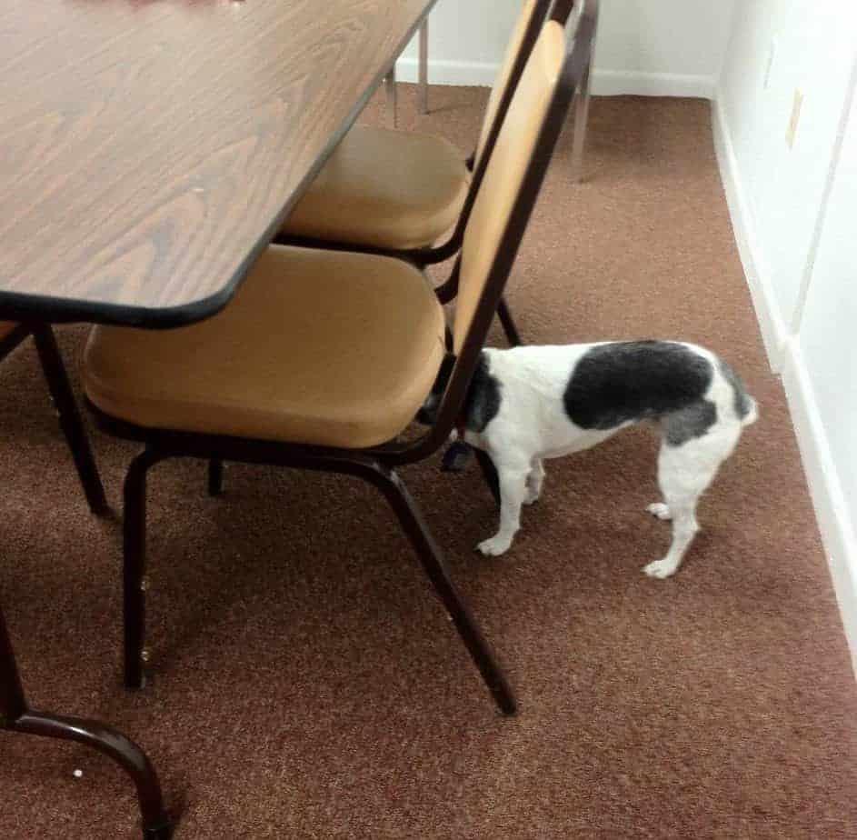 cadela com disfunção cognitiva