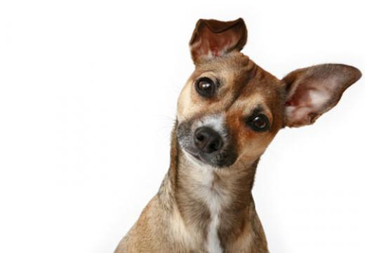 cão inclina a cabeça