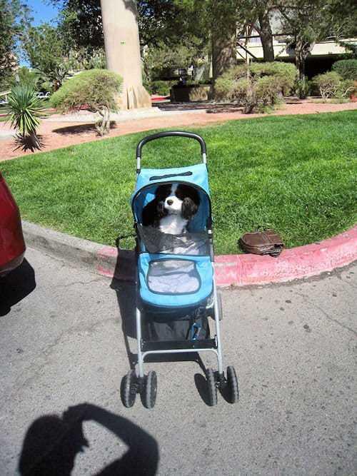 Cão passeando em carrinho
