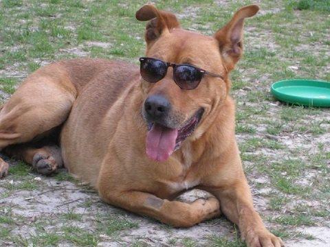 cão usando óculos escuros