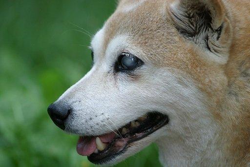 cão cego