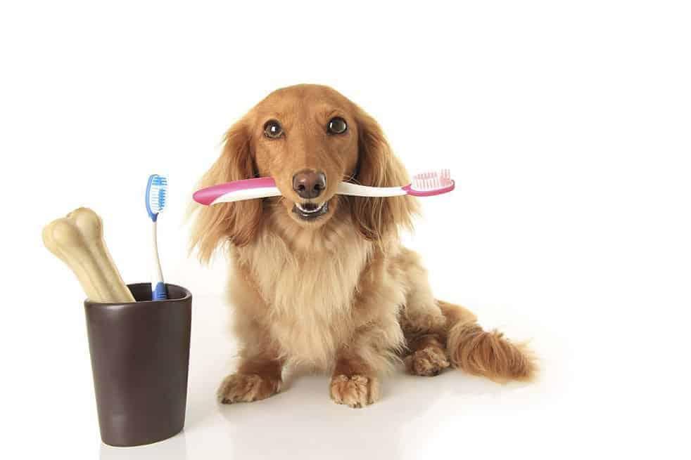 Cão segurando escova de dentes