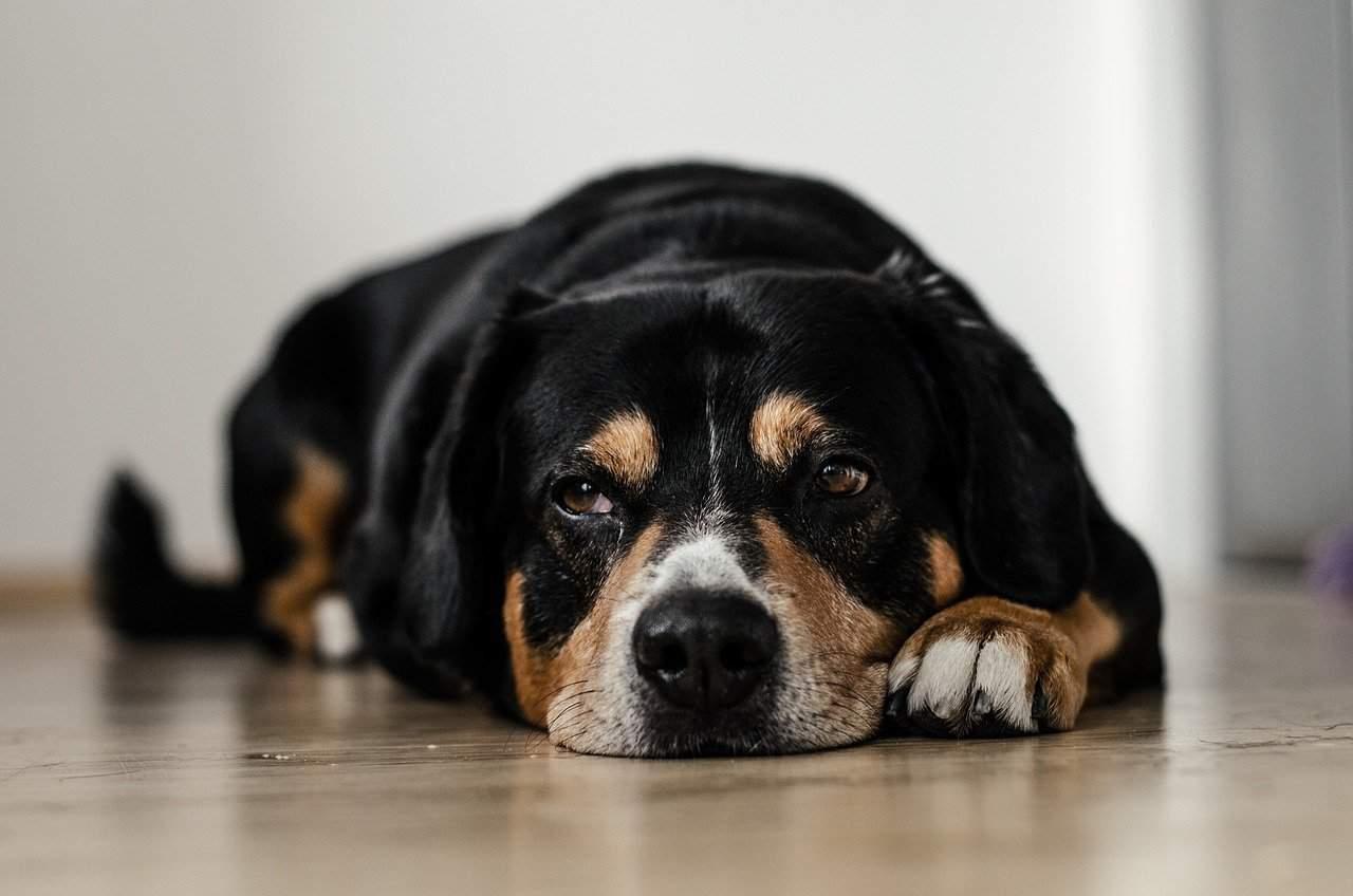 Cão deitado com dor