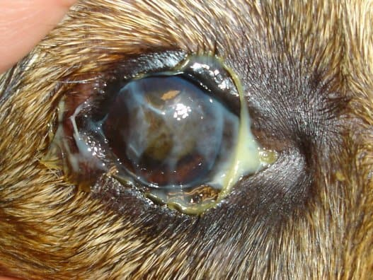 Olho seco com secreções
