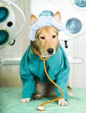 Cão usando pijama cirúrgico