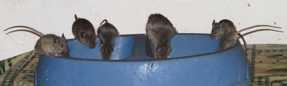 Camundongos comendo no pote de cachorro