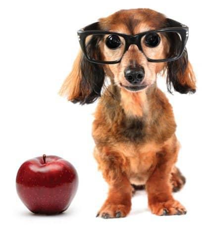 cachorro velho aprende truque novo - cão usando óculos com maçã ao lado
