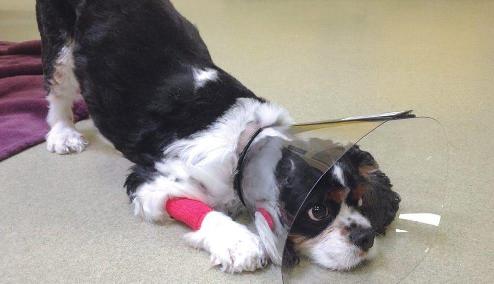 Cão em posição de prece. Tumores intestinais