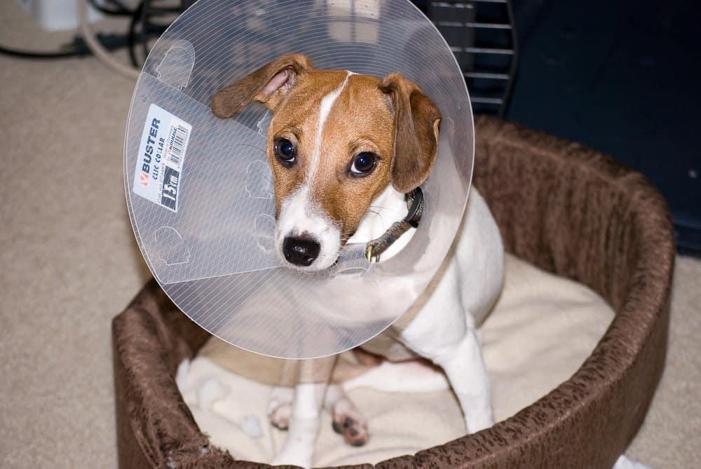 Cão usando colar elisabetano. Imagem: Wikimedia