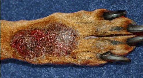 Granuloma - dermatite acral por lambedura