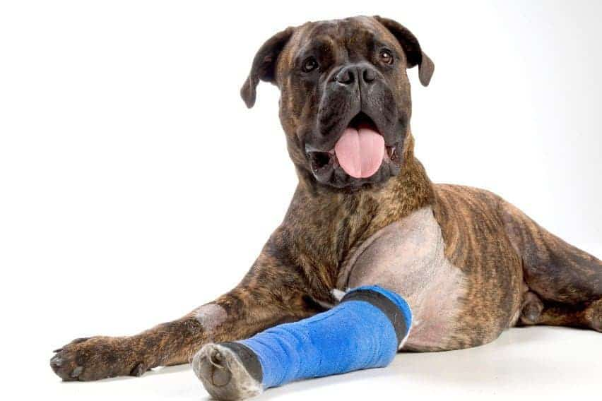 boxer com bandagem na pata - mancar