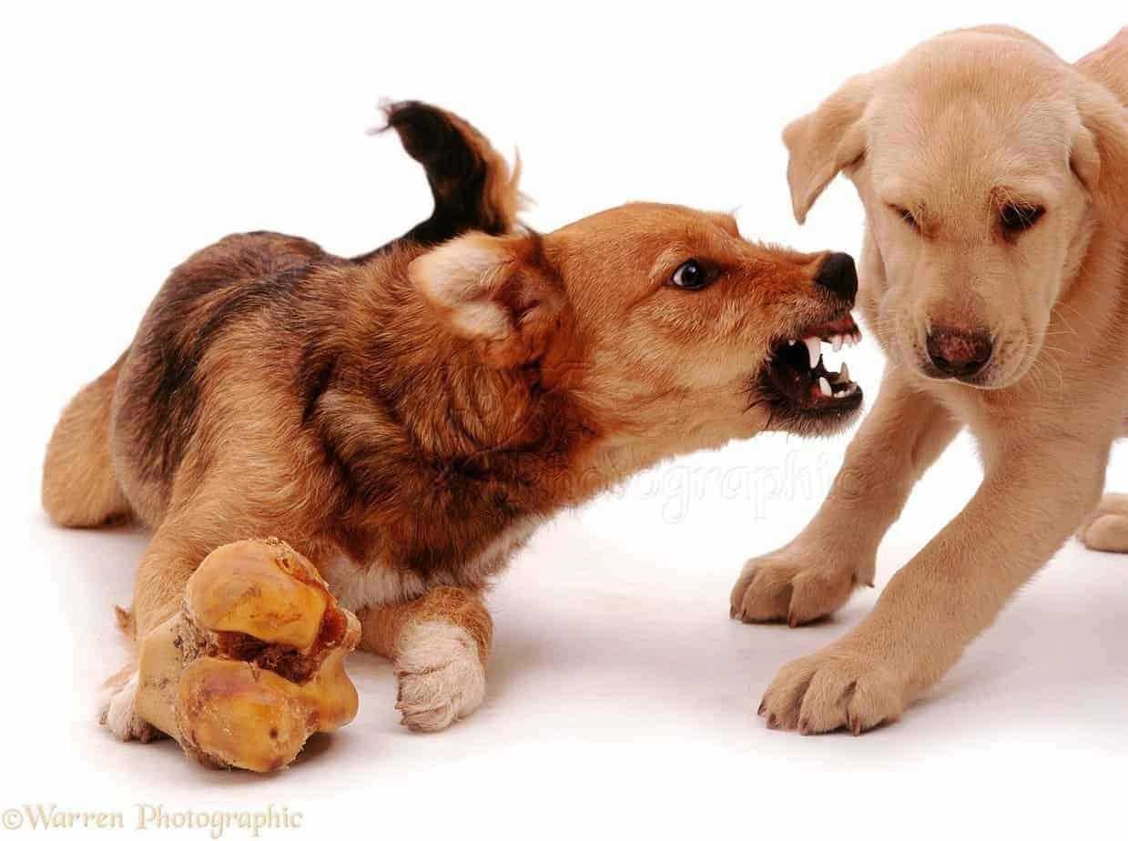 Cão protegendo osso