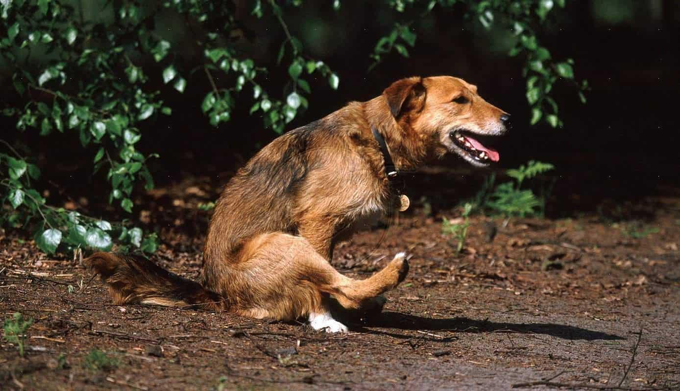 cachorro-esfregando-bumbum-chao