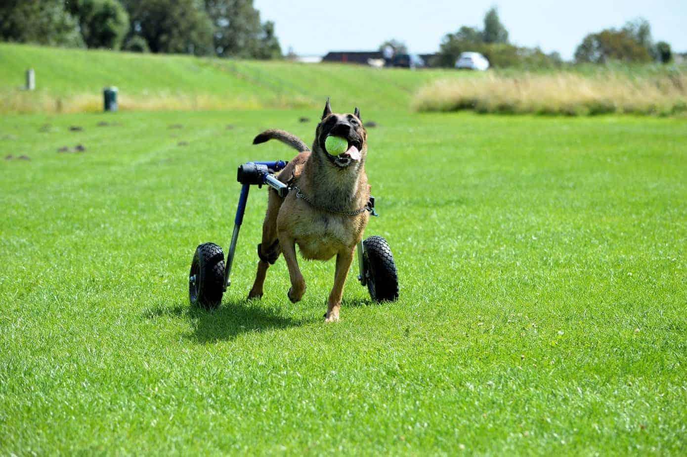 cao-cadeira-de-rodas
