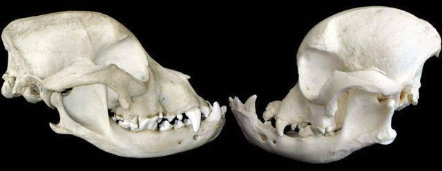cranios-buldogues