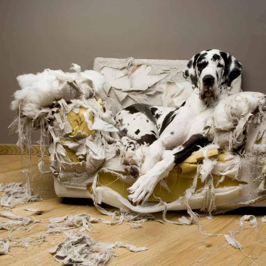 cão dinamarquês deitado sobre sofá destruído