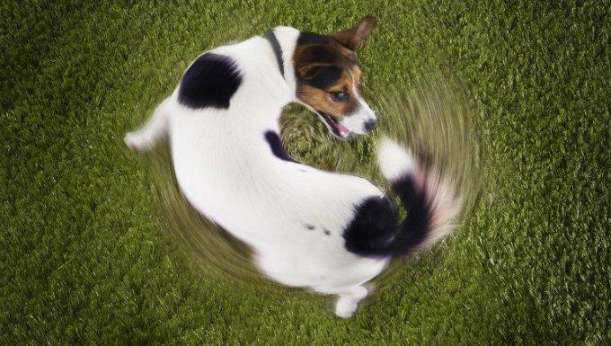 cão Jack Russel Terrier andando em círculos - perseguindo a cauda