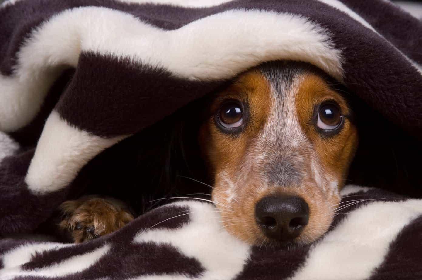 cão assustado escondido sob cobertas
