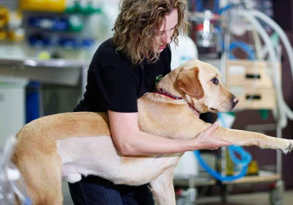 mulher segurando o braço de cão labrador - fazendo fisioterapia